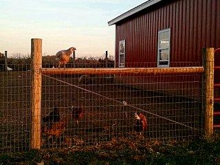 sunset chicken