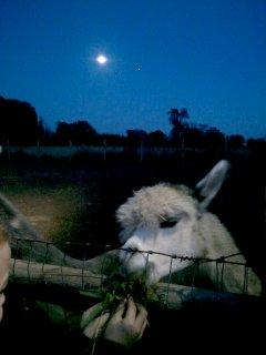 llama and moon