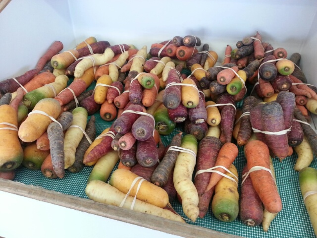 rainbow carrots at the farm