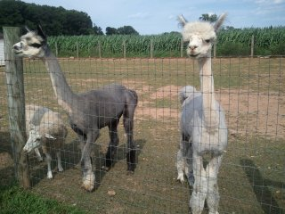 sheared llamas at the CSA