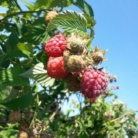 Ripe and unripe raspberries at Larriland