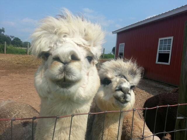 llamas say hi